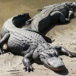 Alligators-3